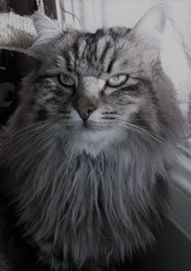 Clandestin, chat Maine Coon