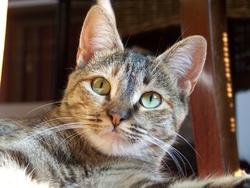 Clara, chat Européen