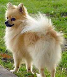 Clara, chien Chihuahua
