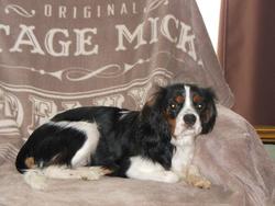 Clara, chien Cavalier King Charles Spaniel