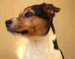 Clark, chien Jack Russell Terrier