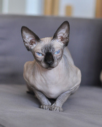 Clasica Aristocrate Nu, chat Sphynx