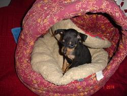 Claudat, chien Pinscher