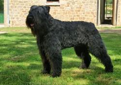 Clayton, chien Bouvier des Flandres