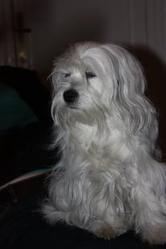 Clea, chien Bichon maltais