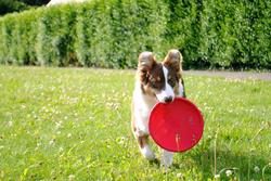 Cléa, chien Berger australien