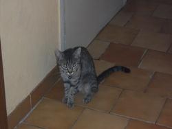 Clea, chat Européen