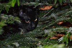 Cléa, chat Européen