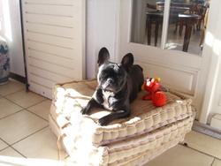 Clémence, chien Bouledogue français
