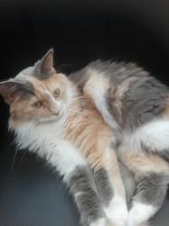 Cleo, chat Européen