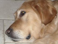 Cléo, chien Golden Retriever