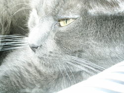 Cléo, chat Chartreux