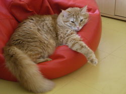 Cléo, chat Européen
