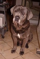 Cleo, chien Cane Corso