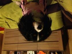 Cleo , chien Cavalier King Charles Spaniel