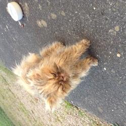 Cléo, chat Persan