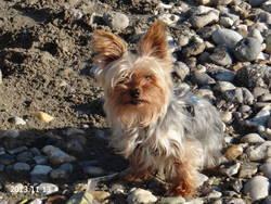 Cleo, chien Yorkshire Terrier