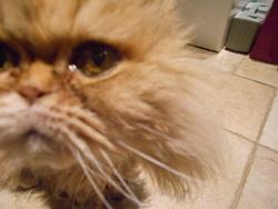 Cléo Décéder , chat Chartreux