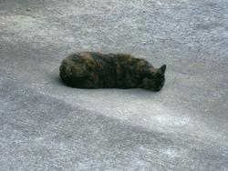 Cléopatre , chat Gouttière