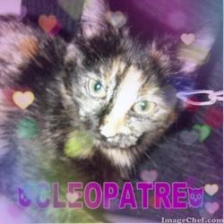 Cleopatre, chat Européen