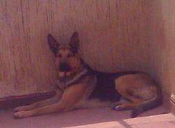 Cleps, chien Berger allemand