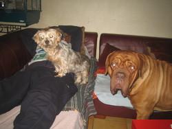 Clerence, chien Dogue de Bordeaux