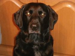 Cliff, chien Braque allemand à poil court