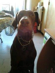 Clint, chien Dobermann