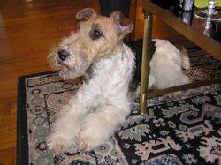 Clio De Michrist, chien Fox-Terrier