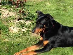 Clipsie, chien Beauceron