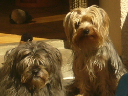Clochette, chien Yorkshire Terrier