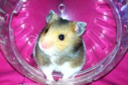 Clochette, rongeur Hamster