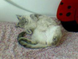 Clochette, chat Birman