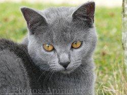 Clochette, chat Chartreux