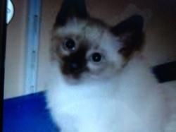 Clochette, chat Thaï