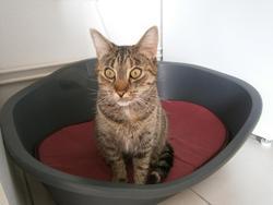 Clochette, chat Européen