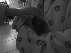 Clochette Au Paradis, rongeur Rat