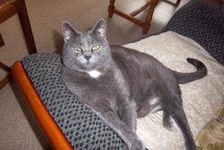 Clochette, chat Chartreux