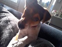 Clochette , chien Jack Russell Terrier