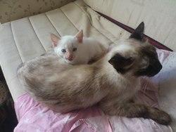 Clochette, chat Siamois