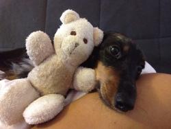 Clochette, chien Teckel