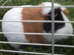 Clochette, rongeur Cochon d'Inde