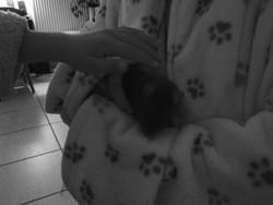 Clochette, rongeur Rat