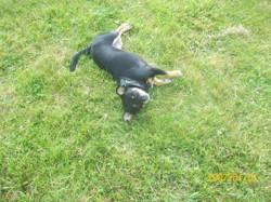 Clochette, chien Chihuahua