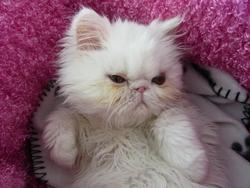 Clochette, chat Persan