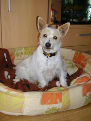 Clochette, chien Fox-Terrier