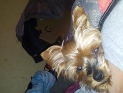 Cloé, chien Yorkshire Terrier