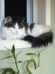 Cloe, chat Balinais