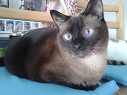 Cloé, chat Siamois