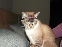 Cloé, chat Balinais